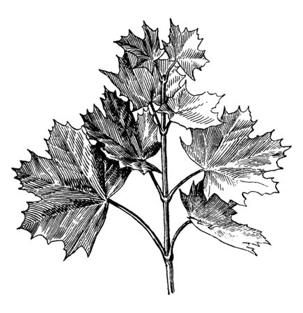 This is branch of Norway maple and also commonly known as Acer Platanoides, vintage line drawing or engraving illustration.  イラスト・ベクター素材