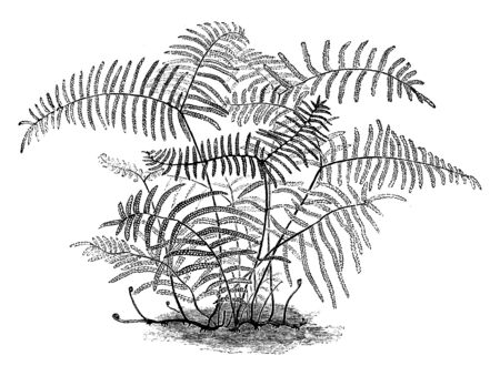 This is image of Gleichenia Circinata Semi-Vestita and it is similar to gleichenia circinata, vintage line drawing or engraving illustration.