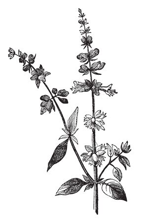 Flowers are blossom on stem of basil. Flower growing in cluster and leaves are opposites growing on stem, vintage line drawing or engraving illustration.
