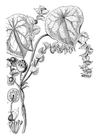 Picture is of Cissampelos plant. It is a kind of vine. Leaves are triangularly orbicular, small and few of them are large in size. It is also showing its fruit section. Flowers are small in size, vintage line drawing or engraving illustration. Ilustração