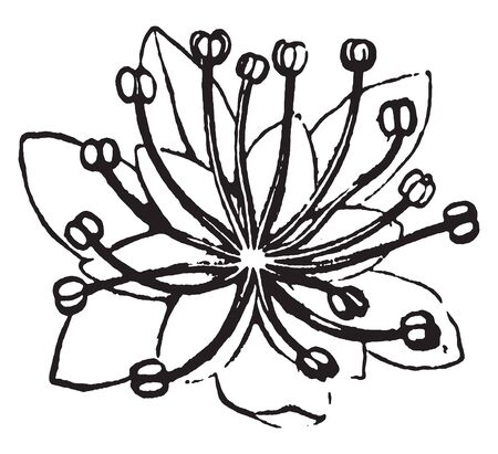 The individual seeds are a broad; the bottom of the flower petals is spread, vintage line drawing or engraving illustration.