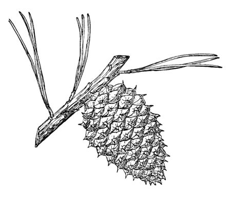 Pitch Pine (Pinus Rigida) found in Northeastern United States. It is an evergreen tree, needles are 2 12 to 5 inches long and cones are 47 cm long, oval in shape with prickles on the scales, vintage line drawing or engraving illustration. Stock Illustratie