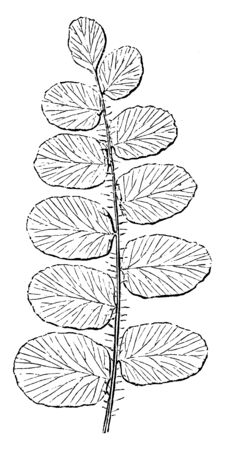 This is Pellaea Rotundifolia plant. Pellaea rotundifolia has round leaves. The fronds are long. There are ten to twenty leaves on each side of the stems. They grow quickly but stay small, vintage line drawing or engraving illustration.