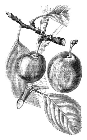 A picture showing branch of Purple Gage Plum tree with its fruit, vintage line drawing or engraving illustration.