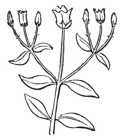 This is a small plant having opposite leaves at same level on a stalk. One flower is at top on main stem and small bud on other stem which is attached to main stem, vintage line drawing or engraving illustration.