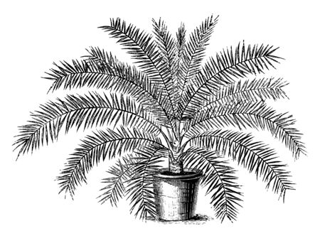 Phoenix Tenius is a date palm tree and it is more fine and lean than other varieties, vintage line drawing or engraving illustration.