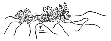 An Azolla Caroliniana is small floating and tiny plant, leaves surface is soft. The roots hang on water, vintage line drawing or engraving illustration.