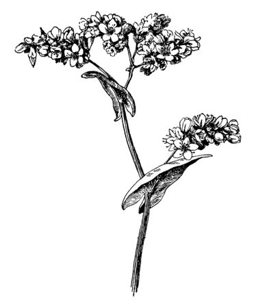 A picture is showing Fagopyrum Esculentum, commonly known as Buckwheat. It found in Asia. Flowers are white and pink and leaves are heart shaped, narrow on tip, vintage line drawing or engraving illustration.