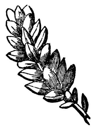 This is image of imbricated leaves. The leaves are very dense. Leaves are small and thin, vintage line drawing or engraving illustration.