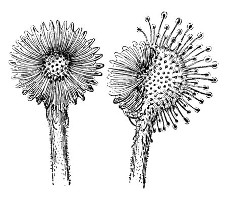 A picture shows Blade Sundew Plant Leaves. It is glistening dewdrops adorn the strap-like leaves of the sundew. Flowers are like sunflower and at the right flower have only half of them thus closed, vintage line drawing or engraving illustration.