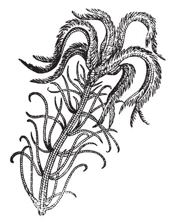 A picture is showing Encrinus. It is an extinct genus of Crinoids and it found in Europe, vintage line drawing or engraving illustration. Stockfoto - 132900839