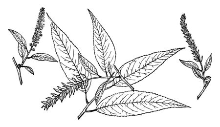 A picture of branch of Peachleaf Willow which is also known as Salix Amygdaloides. It is mostly found in the Southern Canada and Northern United States, vintage line drawing or engraving illustration.