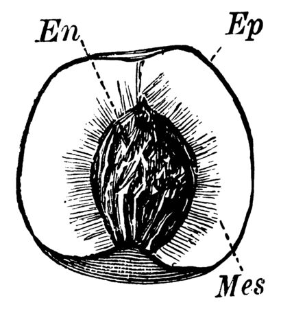 The middle layer of the pericarp of a fruit, between the endocarp and the Exocarp. The innermost layer of the pericarp that surrounds a seed in a fruit, vintage line drawing or engraving illustration. Ilustração