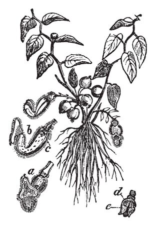 Picture shows Aristolochia Plant.It is genus of evergreen & deciduous lianas & herbaceous perennials. This order, which is dicotyledonous, exogenous, consists of herbaceous shrubs, orten climbing shrubs, vintage line drawing or engraving illustration. Illustration