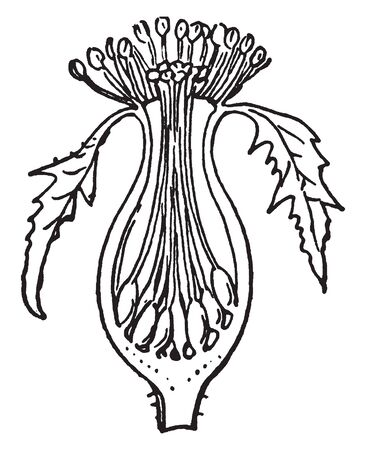 This picture is showing a Perigynous stamen. It looks like a pot. The stigma and anther growing up side, vintage line drawing or engraving illustration.