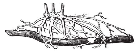 This image describes the roots of Yellow Gerardia, which is attached to with blueberry bush to feeding the roots, vintage line drawing or engraving illustration.