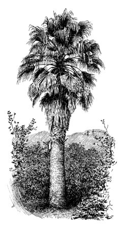 A picture is showing Washingtonia Filifera, also known as desert fan palm. It belongs to the palm family, Arecaceae. It has a sturdy columnar trunk and waxy fan-shaped leaves, vintage line drawing or engraving illustration.