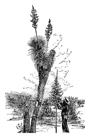 This picture is showing a yucca radiosa. This plant is long and thick. The leaves are very dense, long and thin, pointy. The stem is rounded and thick. Flower grows upside of pant, vintage line drawing or engraving illustration.