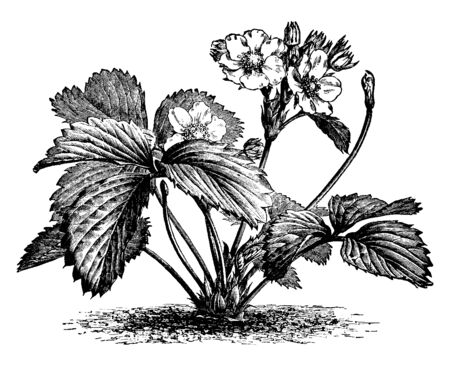 An image of a strawberry plant in flower. There are numerous short Stamens that are readily accessible to insects, vintage line drawing or engraving illustration.