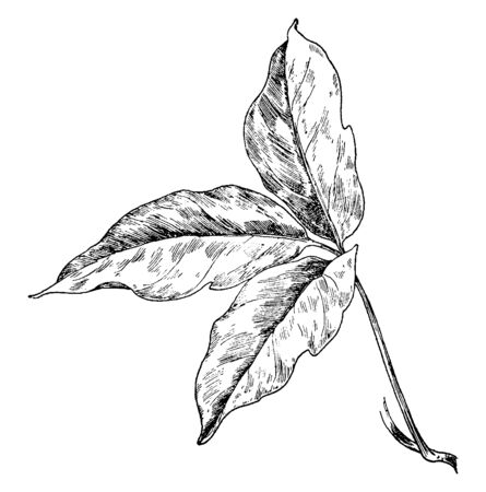 Poison ivy are plant, It is grows as a vine or shrub. It grows in open fields, wooded areas, and on the roadside, vintage line drawing or engraving illustration.