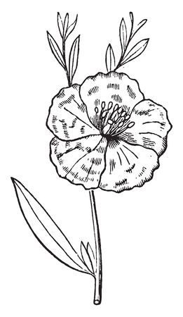 The leaves grown from main stem and flower grow on stem. A single stalked flower with five petals, stamens grown around a small central column, vintage line drawing or engraving illustration. Ilustração