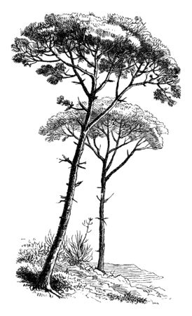 Stone pines are the tree grows between fifty and sixty feet tall and are native to the Mediterranean region, vintage line drawing or engraving illustration.