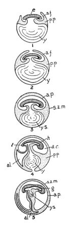 Reptile Development in which Rise of amniotic folds around embryo and pleuro peritoneal cavity are present, vintage line drawing or engraving illustration.