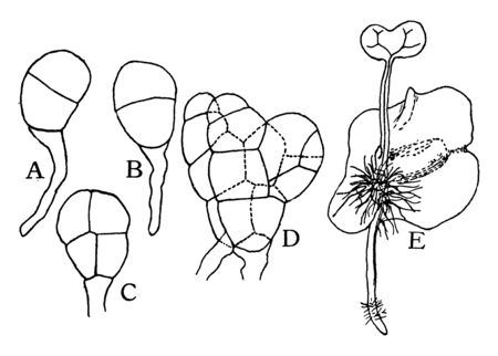 Ferns do not produce seeds, they are grown from spores, vintage line drawing or engraving illustration.