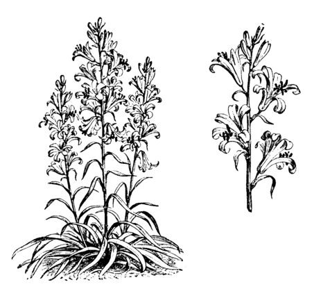 An image showing Detached Portion of Raceme of Lilium Roseum plant. The leaves are grows on stem. Leaves are stalkless, vintage line drawing or engraving illustration.
