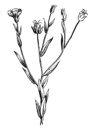 A picture is showing Flax, it also known as Linseed. It belongs to Linaceae family. This is an ornamental plant and it grown for its oil. Flax fibers are used to make linen, vintage line drawing or engraving illustration. Ilustracja