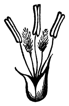 This picture showing part of flowers, there is anther they standing on filament and outside covered by sepal, vintage line drawing or engraving illustration.