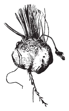 In this picture there is turnip. This turnip is root vegetable, it commonly grown in temperate climate. The root colour shade is white and pink, vintage line drawing or engraving illustration. Ilustração