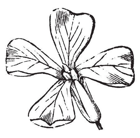 Picture is showing Mustard flower. Mustard belongs to the Brassicaceae family and its flowers are found Yellow in color, vintage line drawing or engraving illustration. 向量圖像