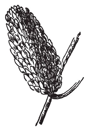 A picture showing the Branch with the erect strobile, or fruit of Sweet Birch tree which is also known as Betula lenta, vintage line drawing or engraving illustration. Ilustração