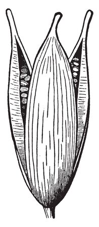 An illustration of a pod of Marsh St. Johns-wort which is also known as Hypericum Perforatum. The flower plant family is Hypericaceae, vintage line drawing or engraving illustration.