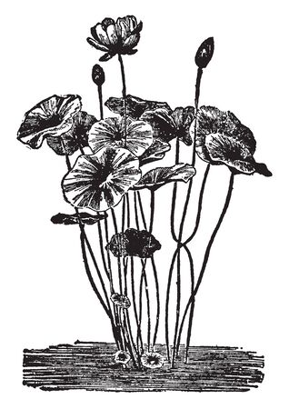 The specific and only species of the Nellimium order is Nelumbium. These are notable for the beauty of flowers, vintage line drawing or engraving illustration. 版權商用圖片 - 132939201