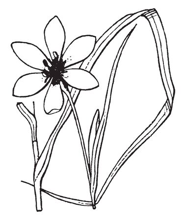 Flower purple, more than 3 cm; Leaves equally on the basis; which is coming in two ranks, from which the base of the plant appears flattened, vintage line drawing or engraving illustration. Иллюстрация