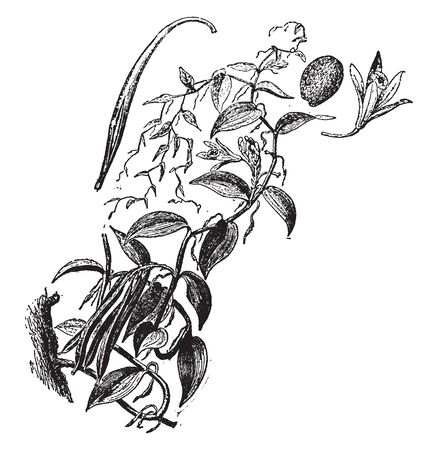 it is the plant which produce vanilla bean. The plants are self-fertile, and pollination simply requires a transfer of the pollen from the anther to the stigma, vintage line drawing or engraving illustration. Ilustração