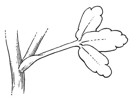 This picture is showing a ranunculus leaves. The leaves attached to stalk. It is thin and rounded. The leaves are attached single point. The leaves are oval shaped, vintage line drawing or engraving illustration. Ilustrace