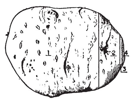 This is the Potato used in cooking. It is one type of vegetable. It is egg-shaped, hard cover. The potato is a starchy, tuberous crop from the perennial nightshade Solanum Tuberosu, vintage line drawing or engraving illustration. Imagens - 132906208