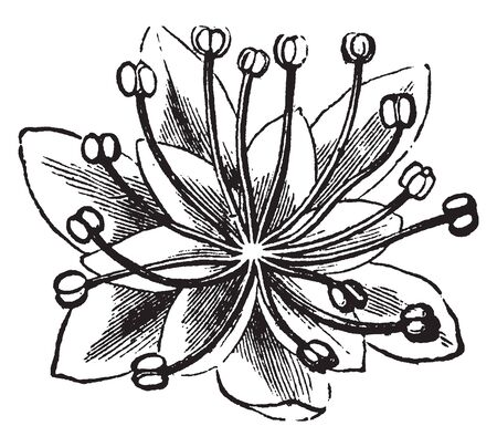 A picture shows the Staminate Moonseed Flower. It has multiple stamens with one stigma and has multiple leaves. It contains many filaments on which Anther is present, vintage line drawing or engraving illustration.