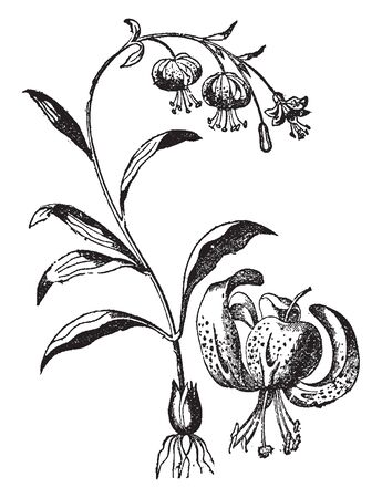 It is a Tiger Lily flower stem from a scaly bulb, bears large, fiery orange flowers covered by spots, vintage line drawing or engraving illustration.