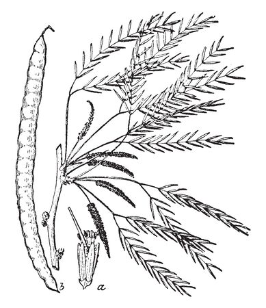 In this picture Mesquite plant contains over 40 species of small leguminous trees. It is nearly cylindrical, straight or curved or twisted, vintage line drawing or engraving illustration.