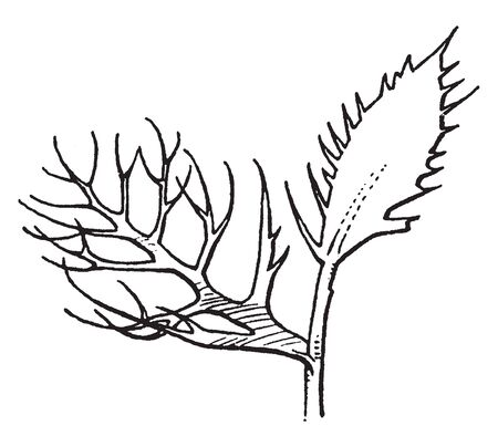 Leaflet of Neobeckia Plant, this is rare, aquatic member of the mustard family, vintage line drawing or engraving illustration.