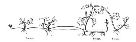 A picture, thats showing a Runner plant. Roots connected to each other. Roots are long and thin, vintage line drawing or engraving illustration.