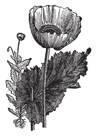 A picture showing Opium Poppy of flowering plant. The flowers are normally with four white, mauve or red petals with dark markings at the base. The large leaves are lobed and clasp, vintage line drawing or engraving illustration.
