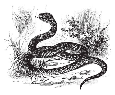 Serpent is a very venomous snake found in the warmer parts of North America, vintage line drawing or engraving illustration.