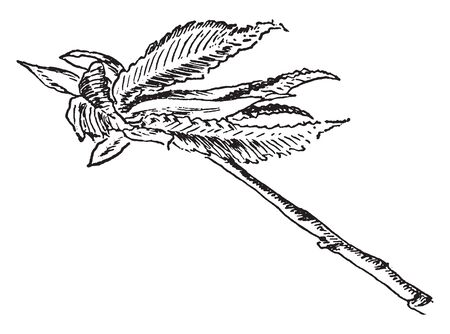 The leaf is ovate-round, highly asymmetric called as white elm leaf. One of the side of leaf is broad and another is small. This is deep tooth-shaped leaf with so many lines over there, vintage line drawing or engraving illustration.