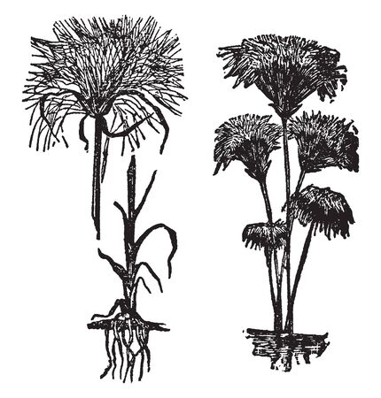 A picture showing a papyrus. The stem is long. The upper part of plant it hairy, vintage line drawing or engraving illustration.