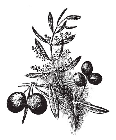 This picture is of an olive tree which is cultivated for the Oil, vintage line drawing or engraving illustration.